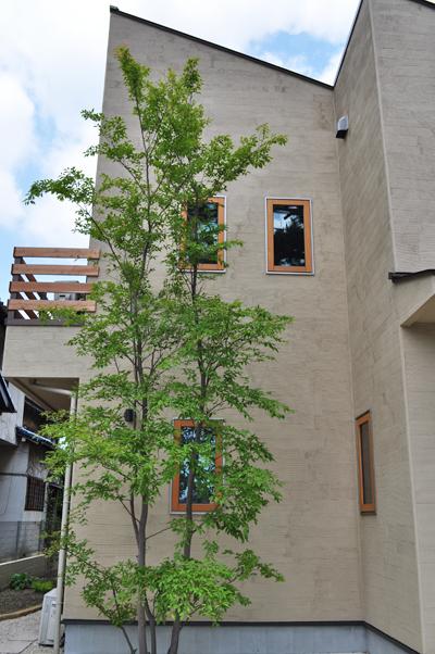 整った株立ち樹形のヒメシャラ