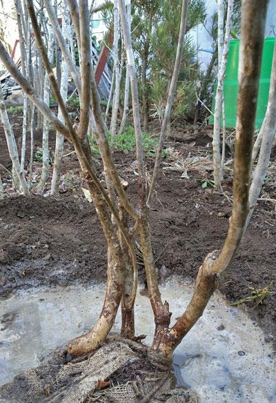 山採りの株立ち樹形