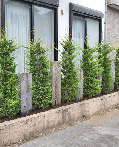 生垣や列植えに向く単幹樹形