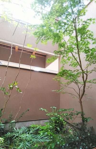壁際から生えてきた様なイロハモミジ