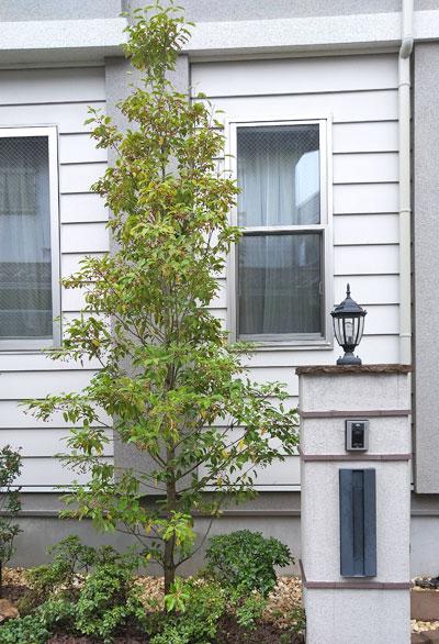 シンボルツリー向きの端正な単幹樹形