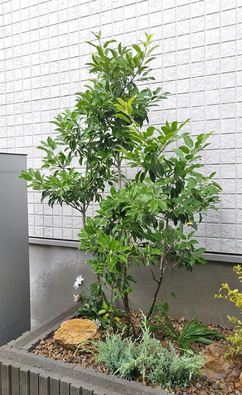 玄関横のシンボルツリーとしてソヨゴを植栽