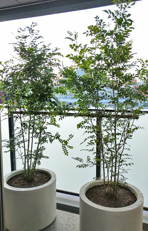 丸型プランターに植栽したシマトネリコ
