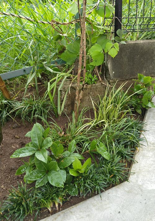 イロハモミジの足下には下草類を