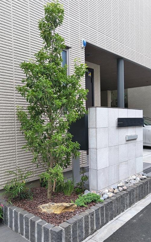 玄関花壇のシンボルツリーとなるソヨゴ