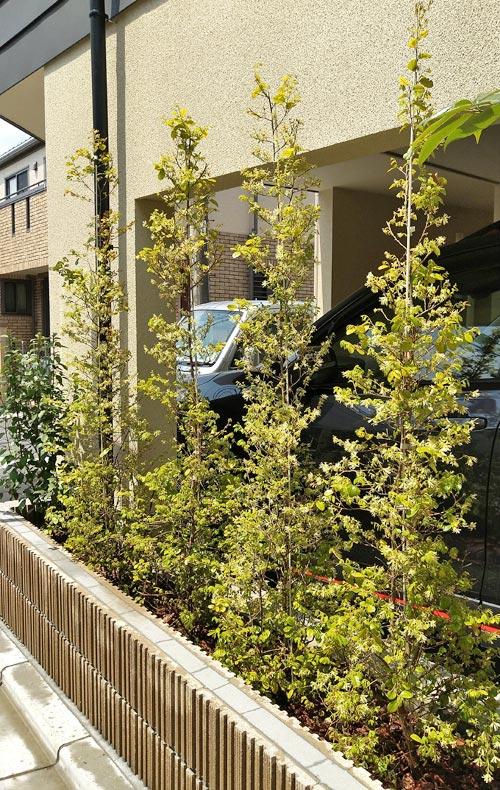 生垣とは異なる白花トキワマンサクの列植